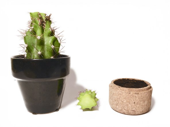Unlike the previous steps, let the broken cactus limb dry out in a shady area in room temperature for about 2 days (or until the end calluses over).
