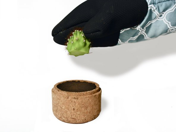 Once the piece is properly calloused, take the cactus and press it gently into the soil. The piece should be resting slightly in the soil and does not have to be buried deep.